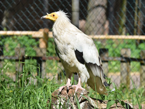 photo Eastern Egyptian vulture / <span class='cursive'>Neophron percnopterus percnopterus</span>