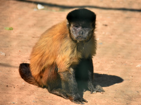 photo Sapajus apella / Brown capuchin