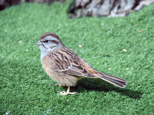 photo Rock bunting / <span class='cursive'>Emberiza cia par</span>