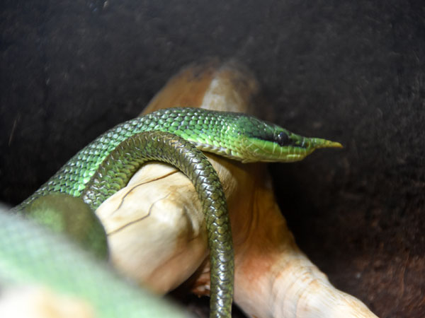 photo Rhinoceros snake / <span class='cursive'>Rhynchophis boulengeri</span>