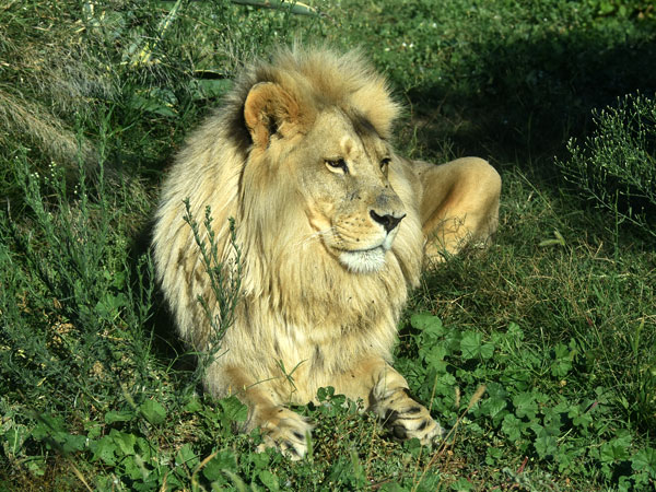 photo African lion / <span class='cursive'>Panthera leo bleyenberghi</span>