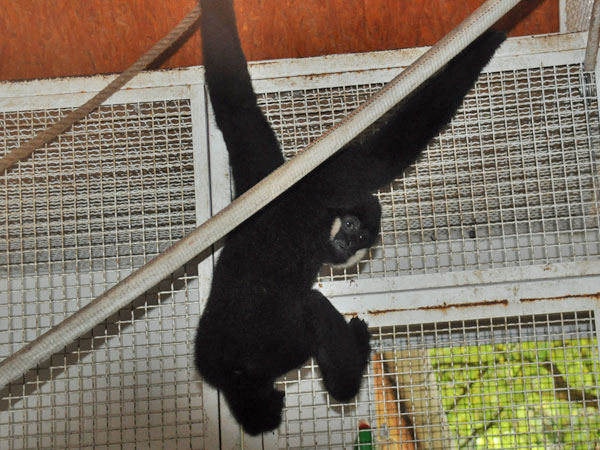 photo Nomascus leucogenys / White-cheeked gibbon