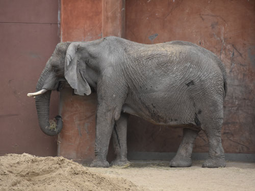 photo African elephant / <span class='cursive'>Loxodonta africana</span>