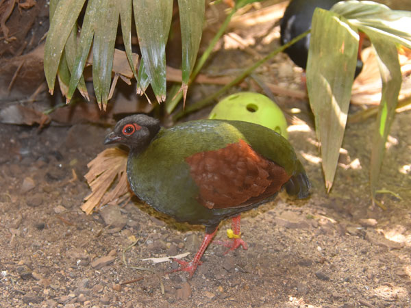photo Rollulus rouloul / Crested wood partridge