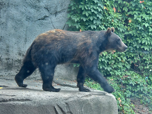photo Grizzly bear / <span class='cursive'>Ursus arctos horribilis</span>