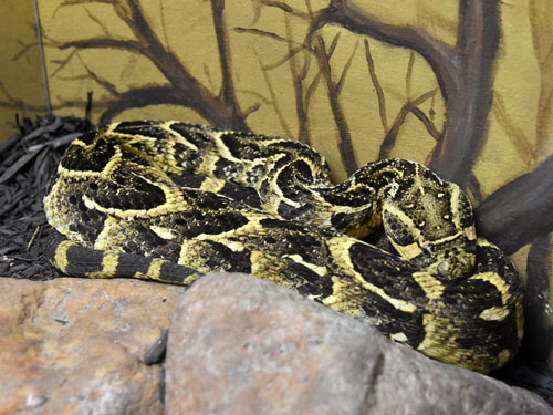 photo Puff adder / <span class='cursive'>Bitis arietans</span>