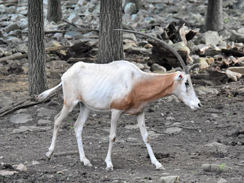 photo Scimitar-horned oryx / <span class='cursive'>Oryx dammah</span>