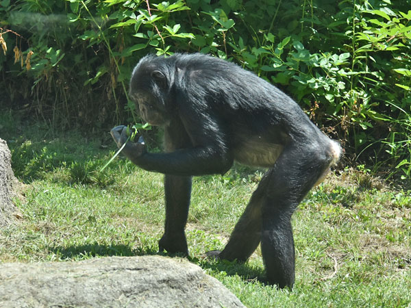 photo Pygmy chimpanzee / <span class='cursive'>Pan paniscus</span>