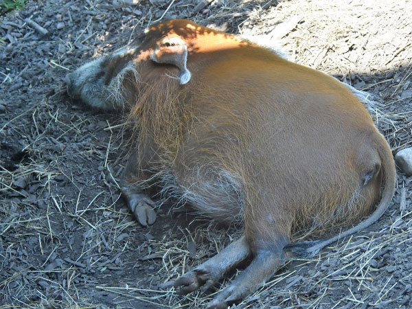 photo Red River hog / <span class='cursive'>Potamochoerus porcus</span>