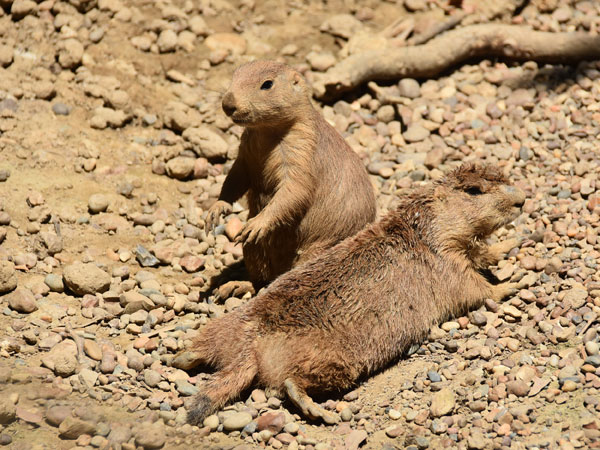 photo Cynomys ludovicianus / Black-tailed prairie dog