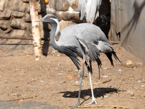photo Demoiselle crane / <span class='cursive'>Anthropoides virgo</span>