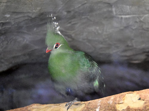Livingston's turaco