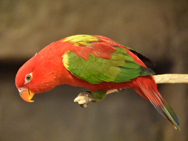 Yellow-backed chattering lory