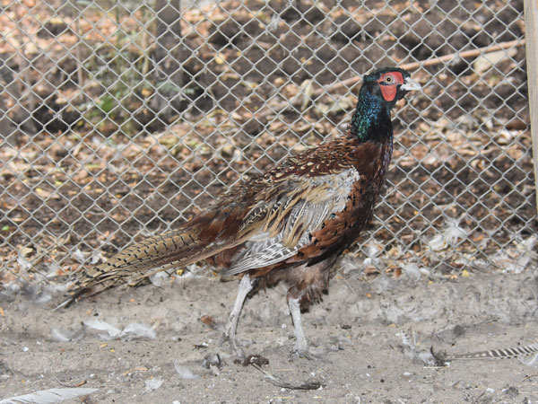 Common ring-necked pheasant
