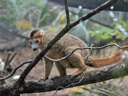 photo Crowned lemur / <span class='cursive'>Eulemur coronatus</span>