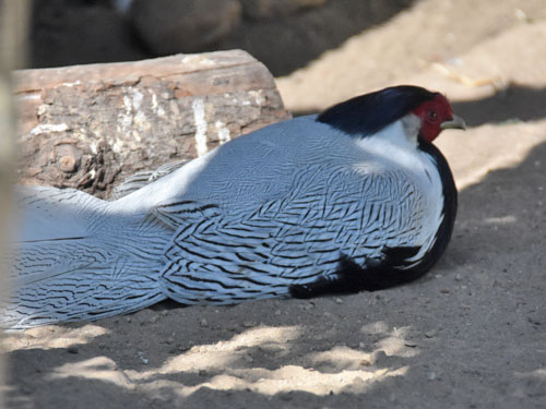 photo Silver pheasant / <span class='cursive'>Lophura nycthemera</span>