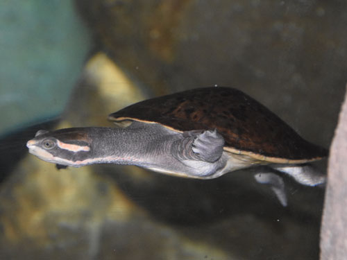 photo Victoria short-necked turtle / <span class='cursive'>Emydura victoriae</span>