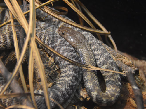 Western barred spitting cobra