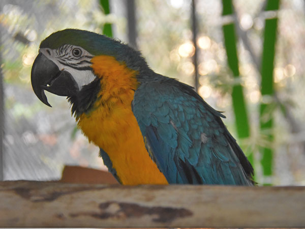 Blue-and-yellow macaw / Ara ararauna<br> Total: 134
