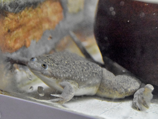 photo African clawed frog / <span class='cursive'>Xenopus laevis</span>