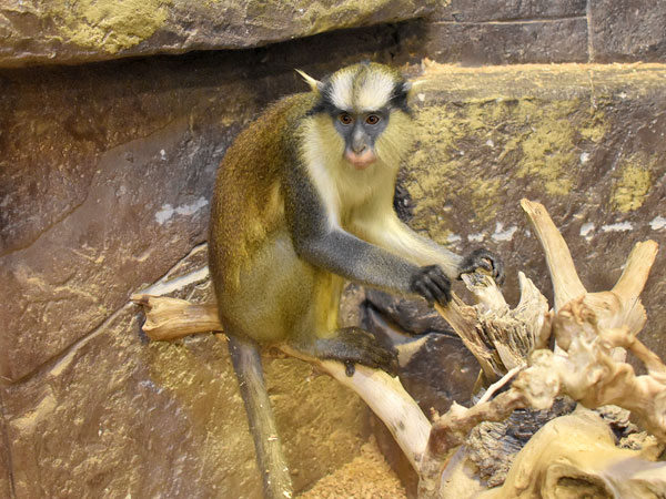 photo Crowned guenon / <span class='cursive'>Cercopithecus pogonias</span>