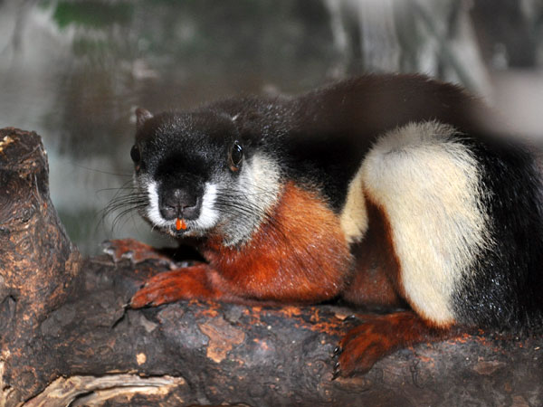 photo Prevost's squirrel / <span class='cursive'>Callosciurus prevostii</span>