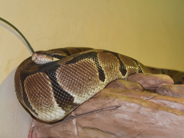 photo Royal/ball python / <span class='cursive'>Python regius</span>
