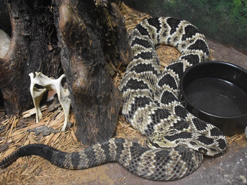photo Eastern diamondback rattlesnake / <span class='cursive'>Crotalus adamanteus</span>