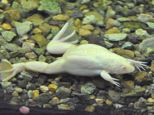 African clawed frog / Xenopus laevis<br> Total: 31