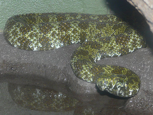 photo Mangshan pitviper / <span class='cursive'>Protobothrops mangshanensis</span>