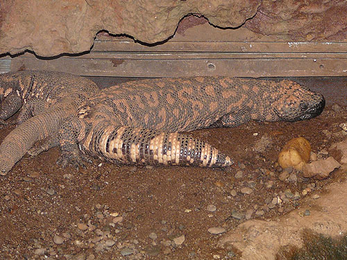 photo Heloderma suspectum / Gila monster