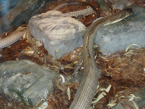 photo King cobra / <span class='cursive'>Ophiophagus hannah</span>