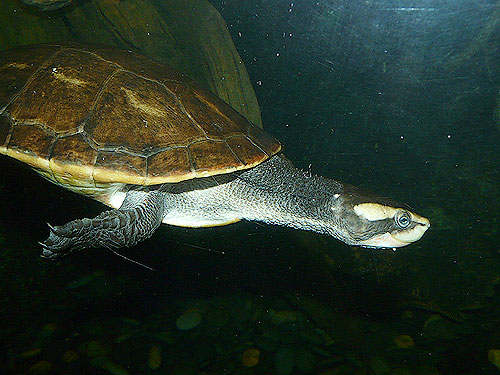 photo Red-bellied short-necked turtle / <span class='cursive'>Emydura subglobosa</span>