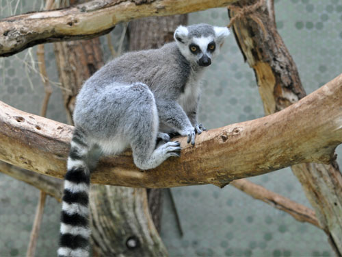 Ring-tailed lemur / Lemur catta