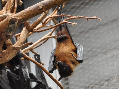 photo Pteropus giganteus / Indian flying fox