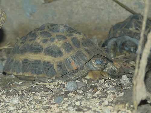 photo Madagascar spider tortoise / <span class='cursive'>Pyxis arachnoides</span>