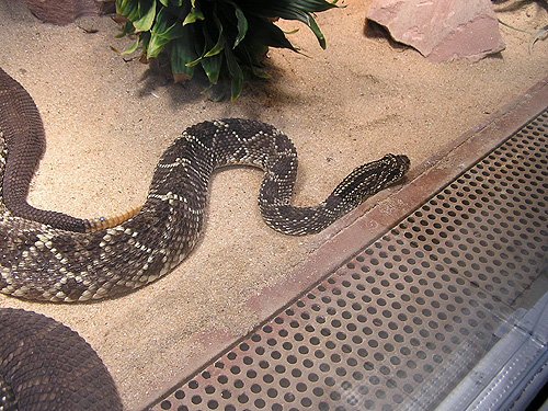 photo Tropical rattlesnake / <span class='cursive'>Crotalus durissus</span>