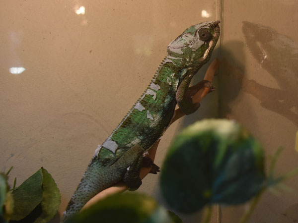 photo Common chameleon / <span class='cursive'>Chamaeleo chamaeleon</span>