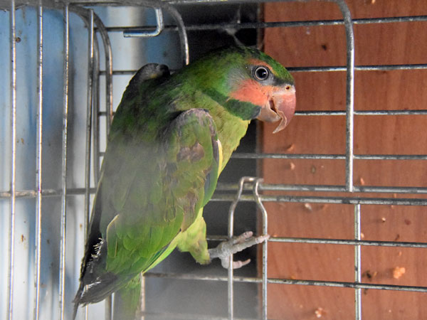photo Long-tailed parakeet / <span class='cursive'>Psittacula longicauda</span>