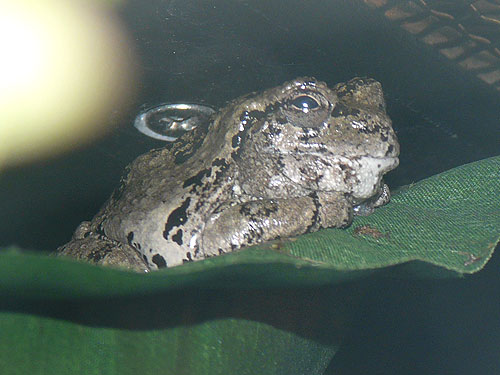 photo Grey tree frog / <span class='cursive'>Hyla versicolor</span>