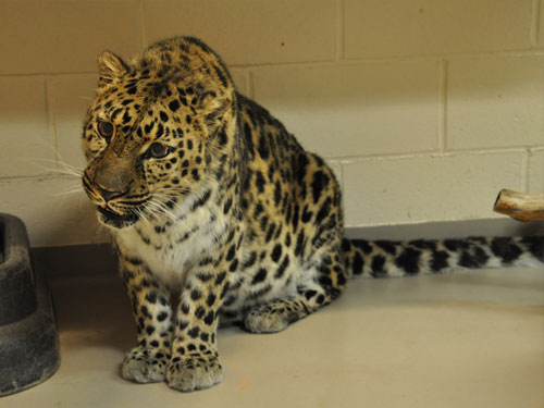 photo Amur leopard / <span class='cursive'>Panthera pardus orientalis</span>