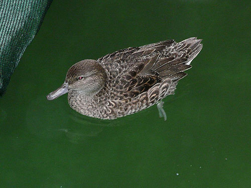 photo Anas crecca carolinensis / American green-winged teal