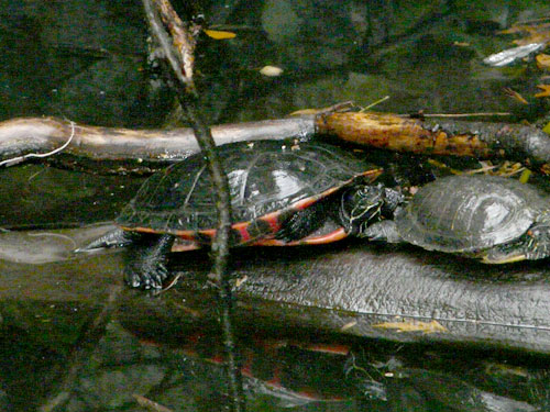 Eastern red-bellied turtle