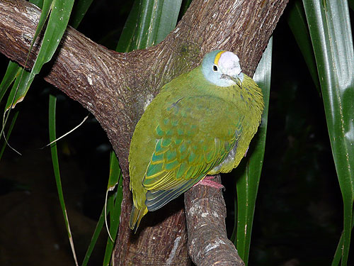 Lilac-capped fruit dove