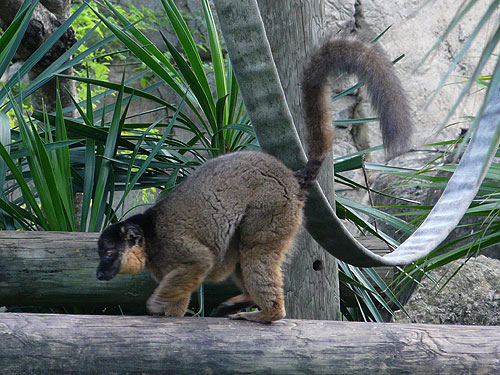 Red-collared brown lemur