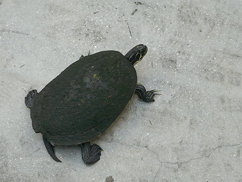 photo Peninsula cooter / <span class='cursive'>Pseudemys concinna peninsularis</span>