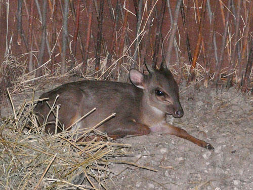 photo Blue duiker / <span class='cursive'>Philantomba monticola monticola</span>