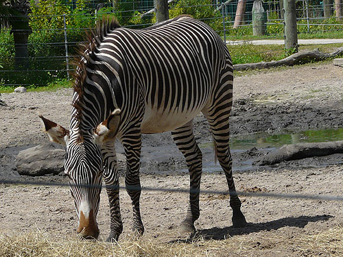 photo Grevy's zebra / <span class='cursive'>Equus grevyi</span>