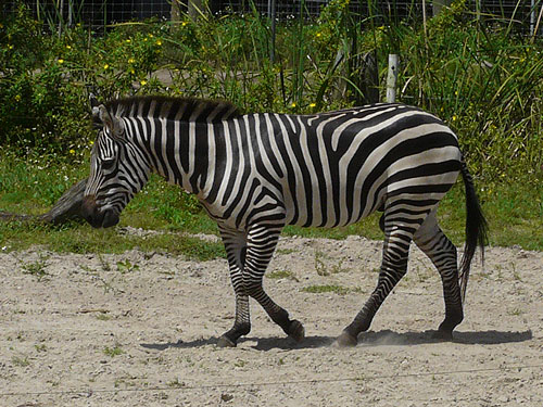photo Plains zebra / <span class='cursive'>Equus quagga</span>