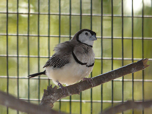 photo Double-barred finch / <span class='cursive'>Taeniopygia bichenovii</span>